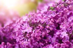 淡紫色花晴朗的春天背景 免版税库存照片