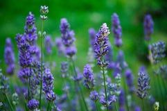 淡紫色花本质上 免版税库存图片
