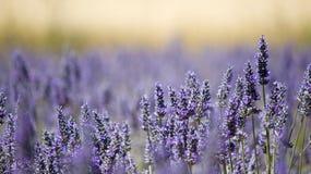 淡紫色花田。 图库摄影