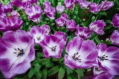 淡紫色花郁金香 在明亮的青绿背景的豪华的花瓣 免版税库存照片