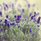 淡紫色花-软的焦点 库存照片