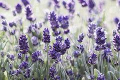 淡紫色花-软的焦点 免版税图库摄影