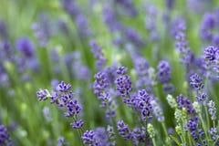 淡紫色花-软的焦点 库存图片