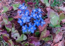 淡紫色花Hepatica 从花的春天背景 第一花春天 免版税库存图片