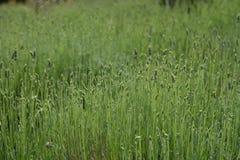 淡紫色草本植物的新绿色开花的领域 免版税库存照片