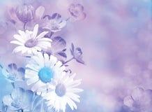 淡紫色蓝色花背景 春黄菊,黄色杯子在轻淡优美的色彩下 免版税库存图片
