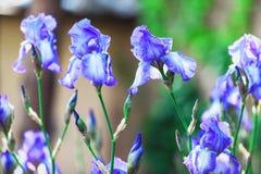 淡紫色虹膜几朵花在被弄脏的背景的 库存图片