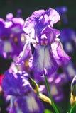 淡紫色虹膜几朵花在被弄脏的背景的 免版税库存照片