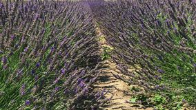 淡紫色行开花与在草本农场的蜂 股票录像