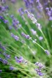 淡紫色词根在焦点 库存图片