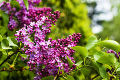 淡紫色进展的branchs 库存照片