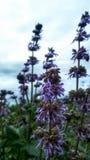 淡紫色野花自然绿叶 库存图片
