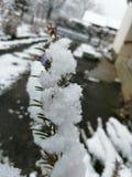 淡紫色雪分支  库存图片