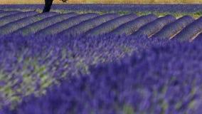 淡紫色领域和一棵绿色树 股票录像