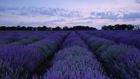 淡紫色领域和不尽的开花的行,夏天日落风景,普罗旺斯法国 股票录像