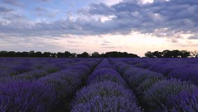 淡紫色领域和不尽的开花的行,夏天日落风景,普罗旺斯法国 影视素材
