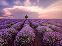 淡紫色领域和偏僻的树风景  免版税库存照片