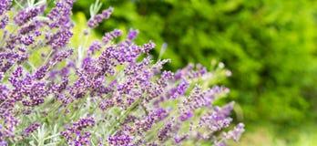 淡紫色领域在夏天 库存图片