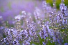 淡紫色领域在阳光下 背景看板卡花卉问候页夏天模板普遍性万维网 库存照片