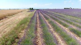 淡紫色领域在7月,寄生虫英尺长度 股票录像