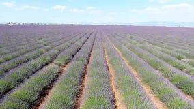 淡紫色领域在7月,寄生虫英尺长度 影视素材