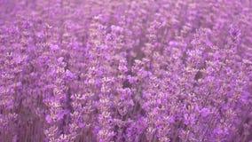 淡紫色领域,美丽的嫩淡紫色在风开花 股票录像
