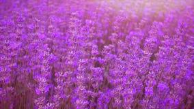 淡紫色领域,美丽的嫩淡紫色花在阳光下 股票录像