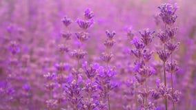 淡紫色领域,美丽的嫩淡紫色花 股票视频
