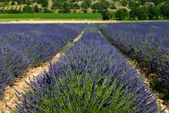 淡紫色领域(熏衣草属angustifolia) 免版税库存照片