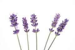 淡紫色 免版税库存图片