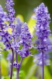 淡紫色 图库摄影