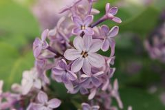 淡紫色Syriga开花的分支的上部切断在自然情况特写镜头的瓣 免版税库存图片