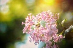 淡紫色wlowers夏天日出分支  免版税库存照片