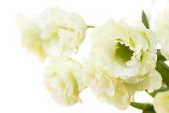 淡绿色的双重花 库存图片