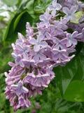 淡色淡紫色群 库存图片