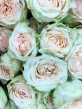 淡色玫瑰 库存照片