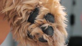 淡色的狗爪子特写镜头  影视素材