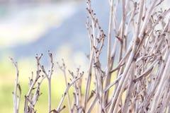 淡色蓝色,淡紫色树荫背景的干燥布什  库存图片