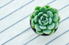 淡色绿色玫瑰华饰开花植物Echeveria多汁植物 免版税库存图片