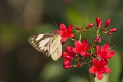 淡色蝴蝶 免版税图库摄影