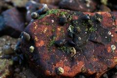 淡菜和海藻在岩石 免版税库存图片
