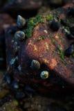 淡菜和海藻在岩石 免版税图库摄影