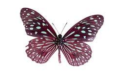 淡蓝的老虎蝴蝶(Tirumala limniace)在原色印刷我 免版税库存照片