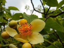 淡黄色有花瓣Schima sp 茶科植物 免版税图库摄影