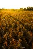 淡黄色的ricefield 免版税库存图片