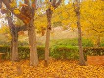 淡黄色落叶树秋天在科林斯湾在希腊 免版税库存照片