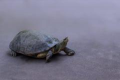 淡水乌龟走 免版税库存照片