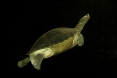 淡水乌龟 免版税库存图片