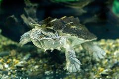 淡水异乎寻常的乌龟Matamata 免版税图库摄影
