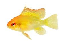 淡水水族馆鱼金黄Ram矮人丽鱼科鱼Mikrogeophagus的ramirezi 库存照片